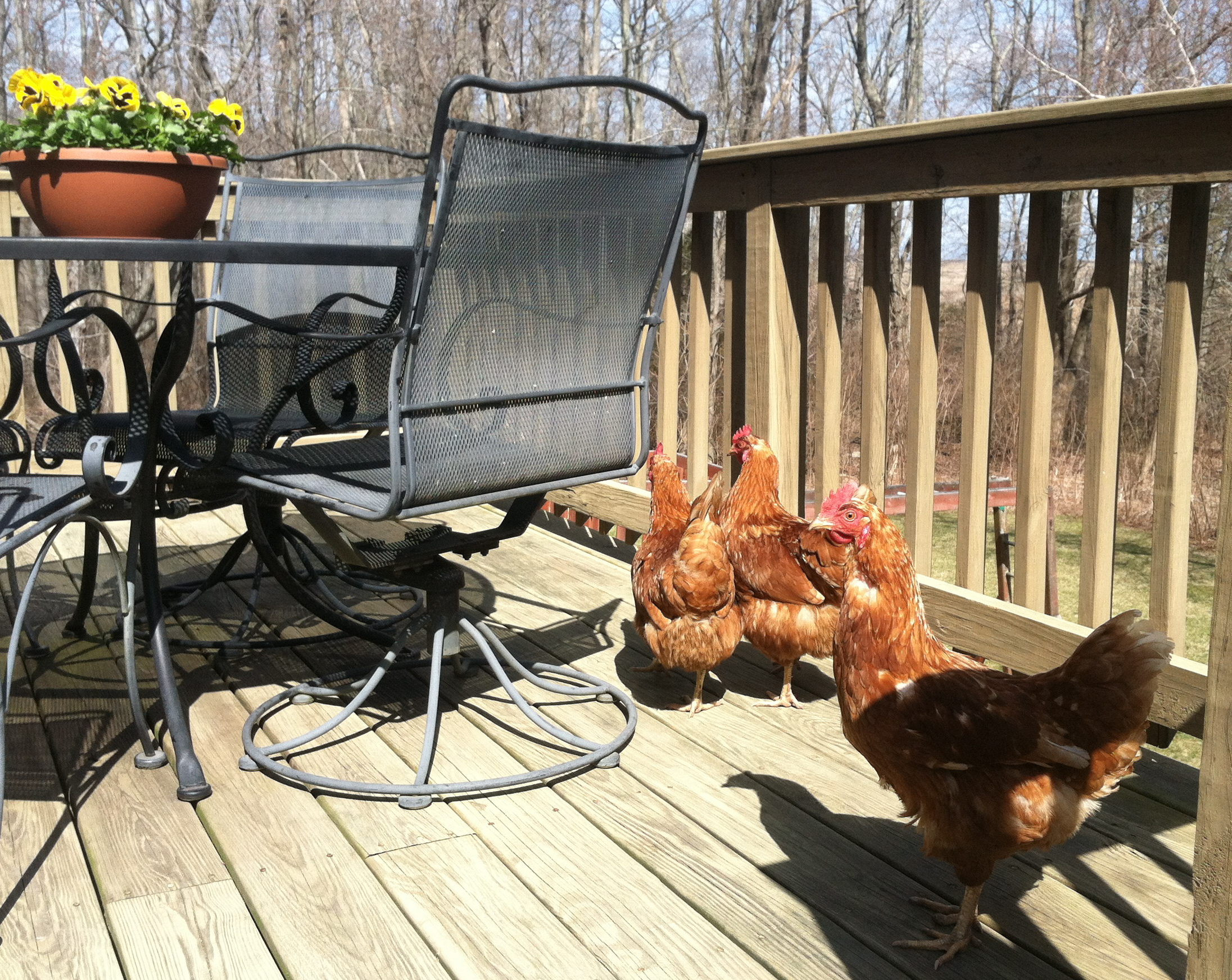 chickenshitz a suburban mom attempts farming one egg at a time